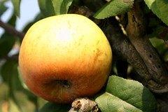 Herbstapfel 'Schöner von Wiltshire', 'Weiße Wachsrenette'
