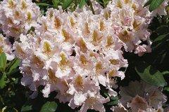 Rhododendron 'Matterhorn'