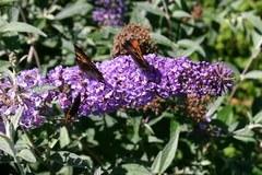 Sommerflieder / Schmetterlingsstrauch 'Lochinch'