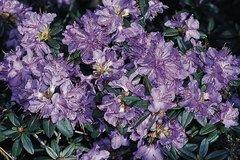 Rhododendron 'Blaubart'