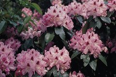 Rhododendron 'Lady Annet de Trafford'