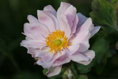 Japan-Herbst-Anemone 'Mont Rose'