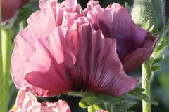 Orientalischer Mohn 'Patty's Plum'