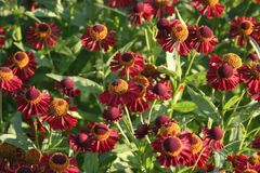 Sonnenbraut 'Ruby Tuesday' ®