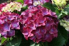 Ballhortensie 'Hot Red Purple' ®