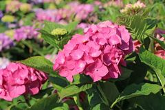 Ballhortensie 'Diva fiore' ® (Rosa)