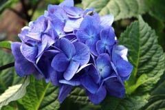 Ballhortensie Endless Summer ® 'BloomStar' ® (Blau)