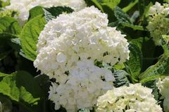 Ballhortensie Endless Summer ® 'The Bride'