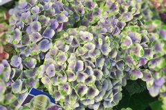 Ballhortensie Magical ® Four Seasons 'Amethyst ®' Blau