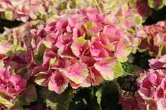 Ballhortensie Magical ® Four Seasons 'Amethyst ®' Rosa / Pink