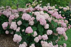Ballhortensie Proven Winners ® 'Incrediball ® Blush' / 'Sweet Annabelle' ®