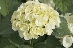 Ballhortensie Royalty ® Collection 'Curly Wurly ® White'