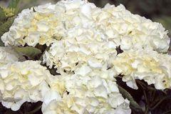 Ballhortensie Saxon ® 'Bright White'