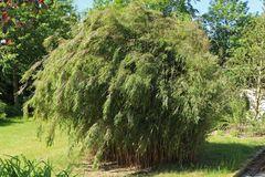 Bambus 'Jiuzhaigou 1'