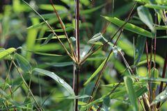 Bambus 'Jiuzhaigou Genf' ® / 'Geneve' / 'Red Dragon'