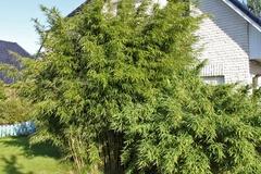 Bambus 'Jumbo'