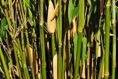 Bambus 'Standing Stone' (S)