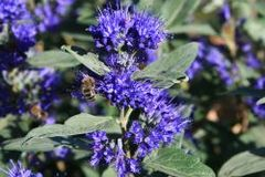 Bartblume 'Grand Bleu' ®