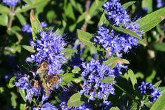 Bartblume 'Kew Blue'