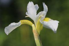 Bartlose Schwertlilie 'White Swirl'