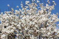 Baum-Magnolie / Kobushi-Magnolie