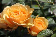 Beetrose 'Amber Queen' ®