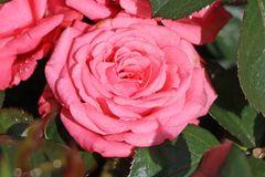 Beetrose 'Bella Rosa' ®