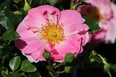 Bodendecker-Rose 'Bienenweide ® Rosa'