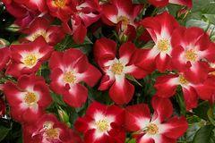 Beetrose 'Everglow Ruby'
