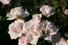 Beetrose Parfuma® 'Constanze Mozart' ®