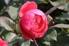 Beetrose Parfuma ® 'Gartenprinzessin Marie-Jose' ®