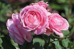 Beetrose Parfuma ® 'Rosengräfin Marie Henriette' ®