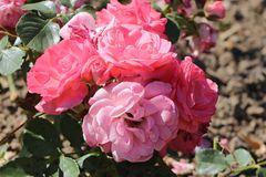 Beetrose 'Rosali' 83 ®