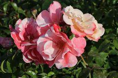 Beetrose 'Roseromantic' ®