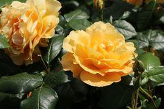 Beetrose 'Tantaus Bernstein-Rose' ®