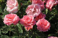 Beetrose 'The Queen Elizabeth Rose'
