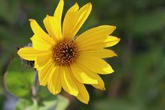 Behaarte Sonnenblume