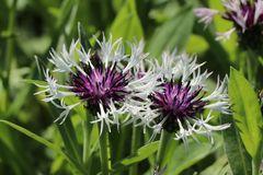 Berg-Flockenblume 'Alba'