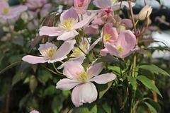 Berg-Waldrebe 'Fragrant Spring'