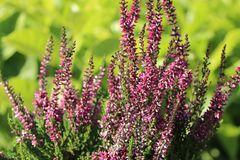 Besenheide / Sommerheide GardenGirls ® 'Amethyst' (S)