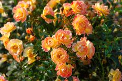 Bodendecker-Rose 'Bienenweide ® Fruity'