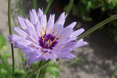 Blaublühende Rasselblume
