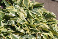 Zweifarbige Herzblattlilie 'Wide Brim'