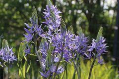 Blaue Prärielilie 'Caerulea'