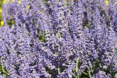 Blauraute 'Lacey Blue' ®