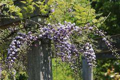 Blauregen 'Violacea Plena'