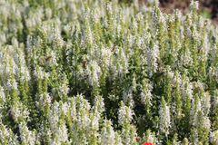 Blüten-Salbei 'Adrian' / 'Schneehügel'