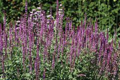 Blüten-Salbei 'Amethyst'