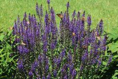 Blüten-Salbei 'Blaukönigin'