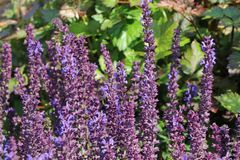 Blüten-Salbei 'Merleau Blue' ®